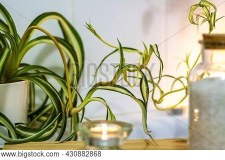Fresh Flowers In Pots Decorate The Bathroom. Indoor Flower In A Pot.