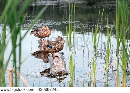 Flock Of Wild Mallard Ducks Sit On Log Floating In The Lake Water Among The Reeds