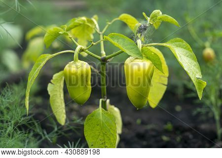 Two Young Green Sweet Peppers Growing In The Garden Bed.