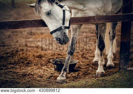 Portrait Of A Gray Sports Stallion With A Dark Mane In A Halter. Sporty Young Horse Gray Color In A