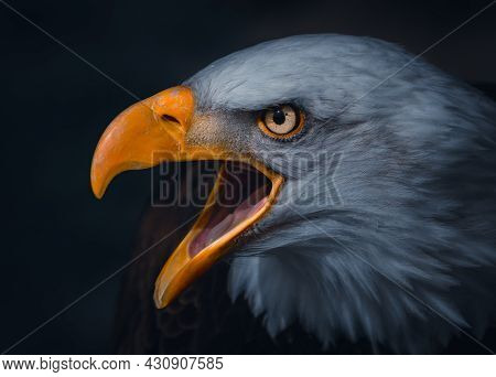An Atmospheric Portrait Of A Golden Eagle With It's Beak Open And Piercing Stare