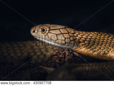 Portrait Headshot Of A Deadly King Cobra.  One Of The Most Venomous Snakes On The Planet, And The Bi