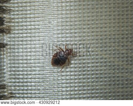 Infection With Bed Bugs, Bugs Are Invisible On The Mattress. Adults Are Able To Reproduce Quickly.