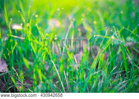 Green Vegetative Background. Grass With Dew Drops And Bokeh At Sunrise In Summer. Soft Blurred Focus