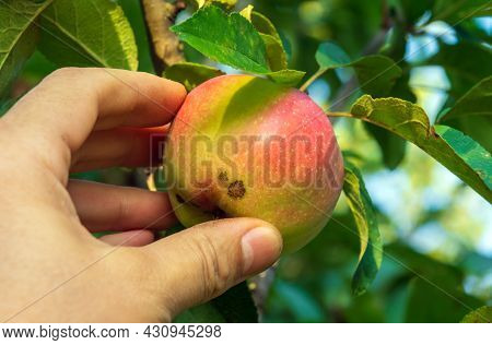 Harvesting Apples In The Garden. Farmer Hand Picks A Ripe Red Apple From A Branch