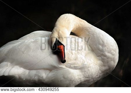 A Swan Is Gently Huddling Against Its Body. Sleeping Beauty, Huddling Swan With Black Background.