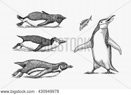 Emperor Penguin Tobogganing. Adult With Juveniles. Small Family Set. Vector Graphics Black And White