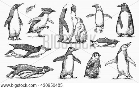 Emperor Penguin And Cute Baby. Adult With Juveniles. Small Family Set. Vector Graphics Black And Whi