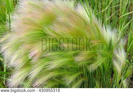 Fluffy Greens In A Field In Summer