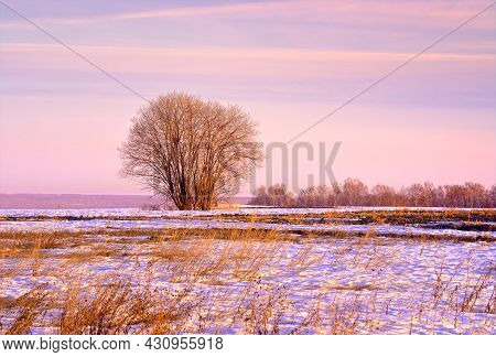 Spring Morning In The Field. Bare Trees In The Middle Of Melting Snow And Dry Grass Against A Pink S