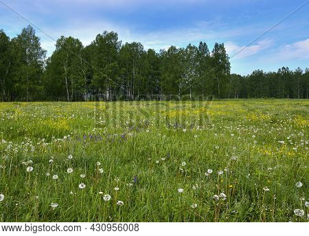 Blooming Green Summer Meadow Filled With Dandelions And Yellow Flowers. Behind The Birch Forest. Blu