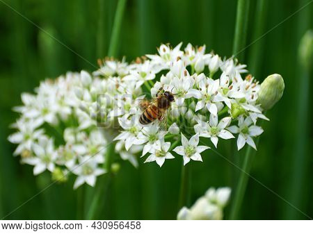 Bees Pollinating The White Chive Flowers In A Vegetable Garden