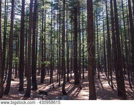 Natural Forest In Kalam Valley Swat, Kpk, Pakistan