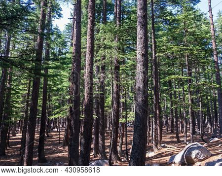 Cedar Forest In Kalam Valley Swat Khyber Pakhtunkhwa Pakistan