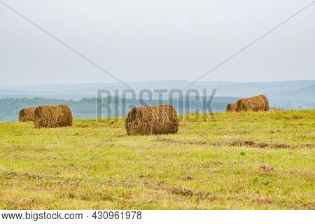 Several Round Bales, Stacks Of Fresh Hay, Rolled Up In A Roll Lie On The Hill Of An Agricultural Fie