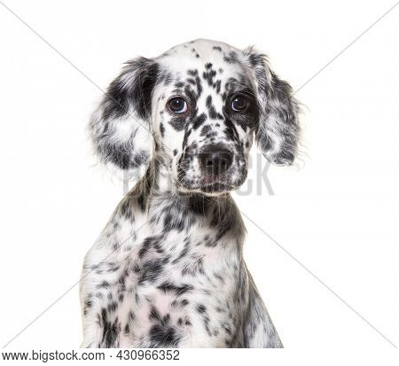 Spotted Black and white Puppy english setter, two months old, isolated