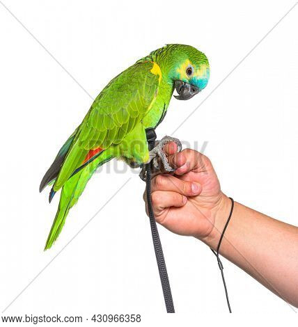 Side view of Turquoise-fronted amazon hold in a human hand with an harness