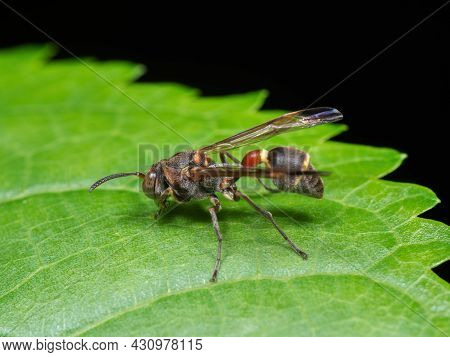 Macro Photography Of Wasp On Green Leaf Isolated On Black Background