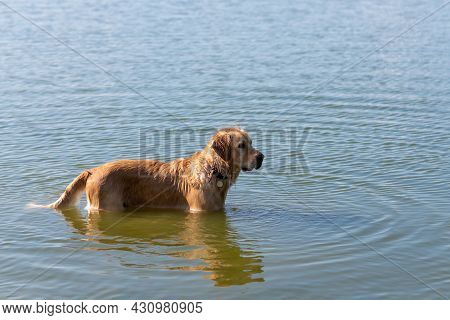 Dog Labrador Retriever Standing In The Lake In Summer Day.funny Golden Labrador Retriever Playing In