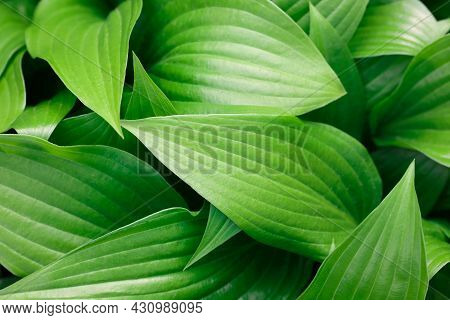 Closeup Background Of Fresh Green Hosta Plant Leaves, Elevated High Angle View, Directly Above