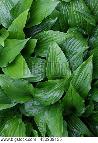 Closeup Background Of Fresh Green Hosta Plant Leaves With Water Drops After Rain, Elevated High Angl