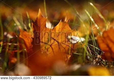 Close Up One Backlit Orange Autumn Fallen Maple Leaf In Grass On The Ground, Low Angle View