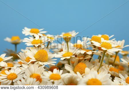 Close Up Bouquet Of Fresh White Chamomile Daisy Flowers Over Blue Background, High Angle Side View