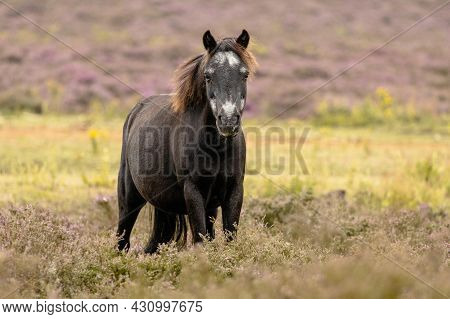 Wild Konik Pony Making Eye Contact In Heather Field