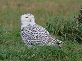 Closeup of a Snowy Owl wintering in Western Washington poster