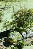 two alligators rasting in swamp in everglades national park r poster
