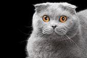 lovely blue scottish fold cat with golden eyes on black background poster