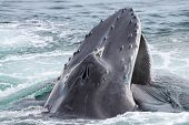 A humpback whale comming up to breath poster