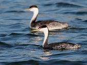 Pair of Western Grebes swimming in Western Washington poster