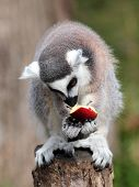 A ring-tailed lemur (Lemur catta) is eating a fruit while sitting on a log poster