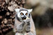 A ring-tailed lemur (Lemur catta) is eating a fruit poster