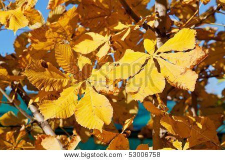 Autumn Leaves Of Horse Chestnut Tree