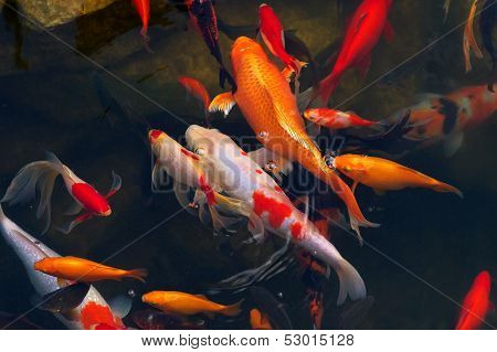 Koi Carps Fish Japanese Swimming (cyprinus Carpio) Beautiful Color Variations Natural Organic