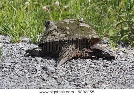 Common Snapping Turtle Tu086