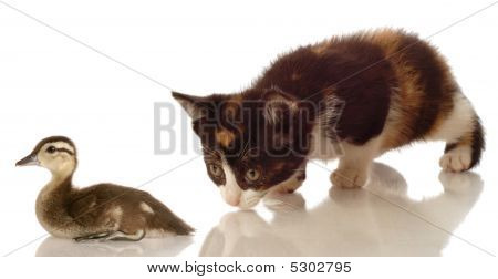 calico kitten hunting a baby mallard duck on white background poster