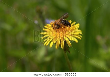 poster of bee working on dandelion flower in the spring sun