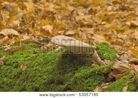 Mushroom tinder fungus (Ganoderma lipsiense)