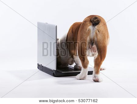French bulldog over a laptop computer