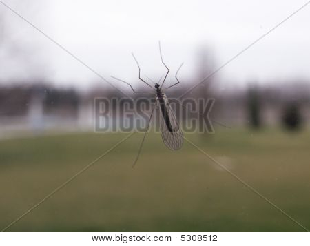 """Mosquito on a window glass. Photo taken from the """"other side"""" of the window. poster"""