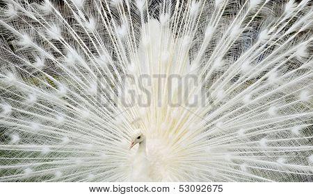 Closeup White Peacock