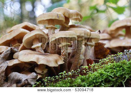 Honey mushrooms - insect