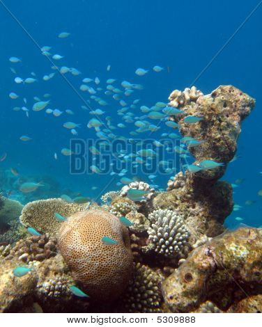 Schoal of Bluegreen Pullers on Coral Reef