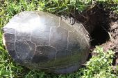 Midland Painted Turtle (Chrysemys picta) laying her eggs this reptile is common in southern Canada. The females will lay 4 to 15 oval soft shelled eggs in a conical flask-shaped hole. poster