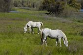 white horses grazing, upper lake, california poster