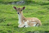 Fawn is lying on grass and looking behind camera poster