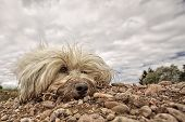A Dirty longhaired dog is in the gravel looking slightly to the side. In the background a slightly more dramatic sky. poster